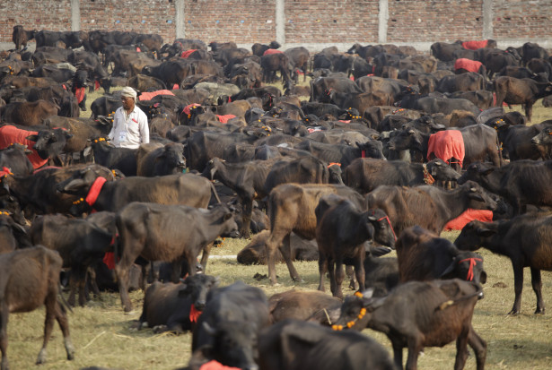 Breaking News: Nepalese Organizers Announce an End to the World's Bloodiest Animal Sacrifice Spectacle