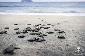 Turtle Hatchlings Safely Reach the Sea with the Help of 'Operation Jairo' Volunteers in Costa Rica