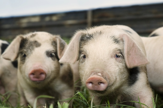 Federal Court Victory May Carve Up Big Pork Scheme